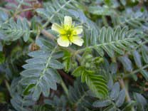 tribulus terrestris natural ingredient